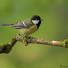 Great Tit (Parus major) © Halil1961