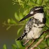 Pied kingfisher © Archie