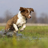 Border collie having Fun