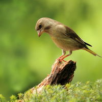 European greenfinch (female)