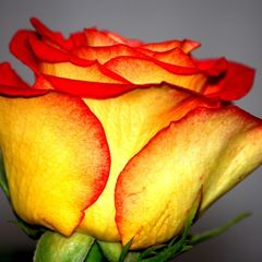 red-yellow rose
