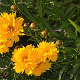 Coreopsis   Baby Sun Special