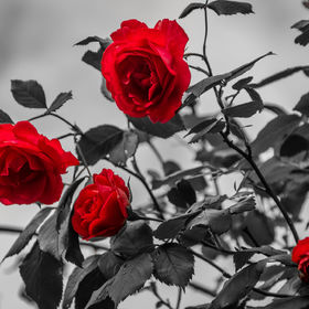 ...red roses...