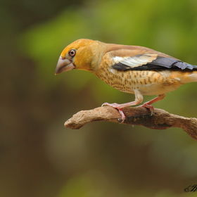 Dlesk(mladi�) Coccothraustes coccothrauste