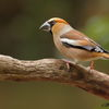 Dlesk-Coccothraustes coccothraustes